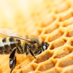 What is the difference between Italian and Carniolan Honey Bees?