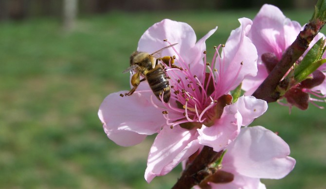 Attracting Honey Bees