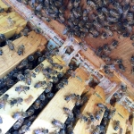 What is Propolis & How Do Honey Bees Use It?