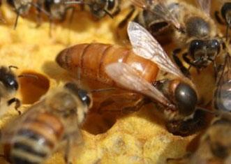 Bees & Nucs