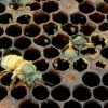 Does your hive have toxic foundation?